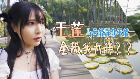 闪闪逛中国科学院研究基地西双版纳植物园,好大啊,看跳舞草想踩大王莲