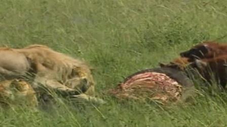 惊奇一幕!鬣狗狮子一生之敌竟共享野牛肉,摄像机拍下全过程!