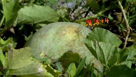 我们在行动:陈蓉王景春前往一望无际的瓜地,挑瓜太不容易了!