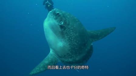 """地球上最""""懒""""鱼,被吃掉一半都不挣扎,却丝毫不担心会灭绝!"""