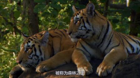 老虎和狮子步入晚年后,为什么狮子会被饿死,而老虎不会呢?