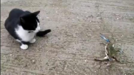 猫咪第一次见螃蟹,忍不住上前比试,不料螃蟹钳子一出猫咪就怂了