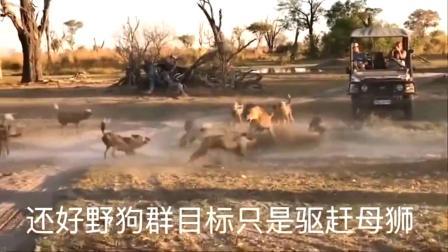 鬣狗:一头母狮带着孩子,被鬣狗围攻