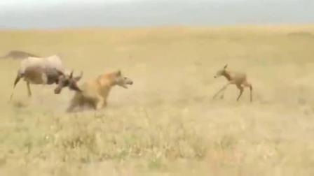 大羚羊奋力抵挡鬣狗,不料小羚羊慌不择路自己撞进鬣狗口里
