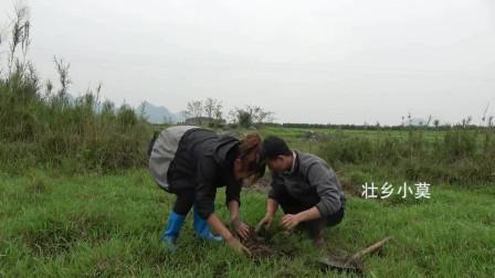 农村小莫:女人挖起泥鳅来比男人还要狠,草田里半小时狂抓好几斤,佩服!