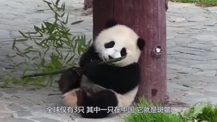 比大熊猫还珍贵的动物,全球仅有3只,其中一只在中国!