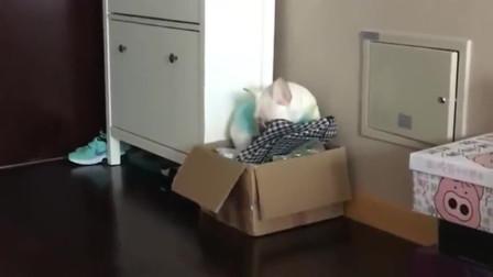 小斗牛犬犯错了, 就躲到角落, 委屈的小胖子看着都让人心疼