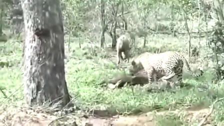鬣狗不想跟偷吃的花豹计较,花豹突然来了这样的一招,鬣狗傻了