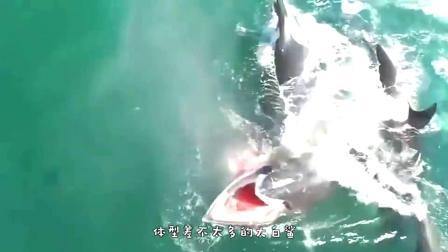 鲸鱼冲向沙滩,将小海豹一口吞下,这是饿疯了的节奏!