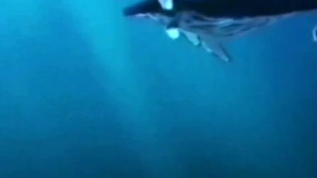 鲸鱼妈妈离世,鲸鱼宝宝托着不让下沉,祈求她醒来!
