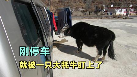 一新冬季自驾西藏,刚停下做饭被一只大牦牛盯上了,这怎么办