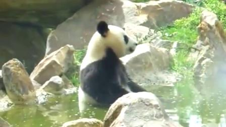 大熊猫:不瞒你们说,泡温泉只是为了修炼