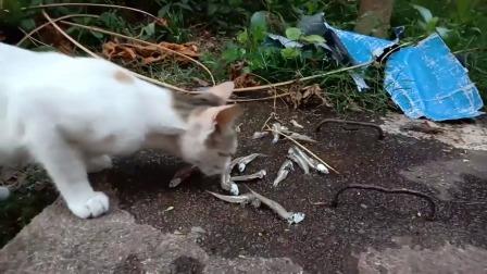 猫咪遇上章鱼,吃到一点章鱼肉后直接来了兴趣,猫:跟我回家吧