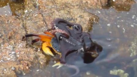 螃蟹正晒太阳享受人生,忽然一黑影闪过,螃蟹:谁?我咋看不见了