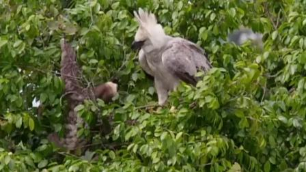 食猿雕想吃树懒,树懒一爪子慢悠悠的甩过去,把食猿雕看懵了