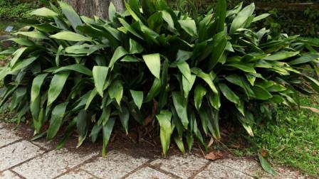 地头常见的有趣野草,名字叫做蜘蛛抱蛋,这名字有故事!