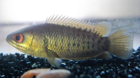 我国南方常见的鱼,离水一周不死能在陆地行走