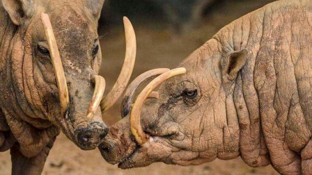 印尼的这一野兽是猪中奇葩,遇到雄性就吐口水