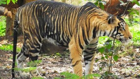印度野外发现黑虎,原来它不只是存在于神话里