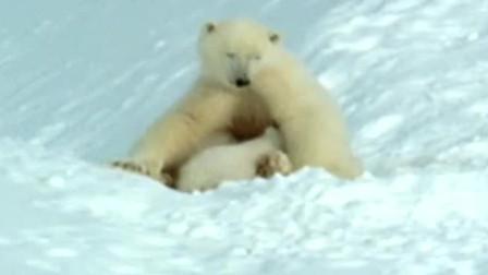 软萌的小北极熊和小海豹!它们要面对什么样的考验