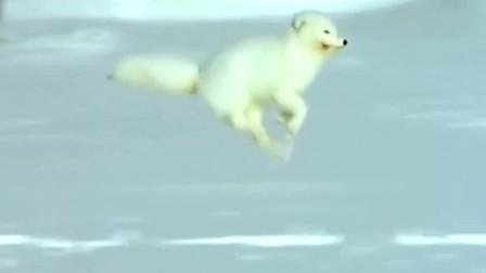 在北极的雪地求生需要绝技,北极狐和旅鼠都是高手!