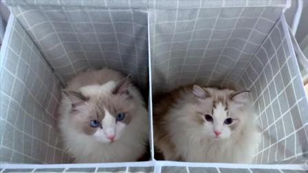 布偶猫智商大比拼