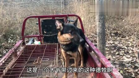 农村狗市:大爷带来的2条德牧不卖,就是带来经经场面,锻炼胆量