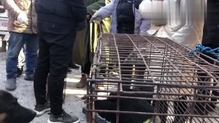 农村狗市:屠夫现场收狗宰杀剥皮,一旁的猛犬吓坏了,现场好残忍