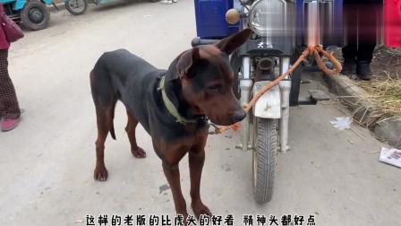 农村狗市:大爷从狗肉车上救下一只萨摩耶,面对新主人,它高兴的上蹦下跳