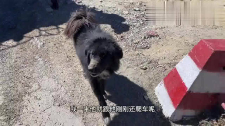 流浪狗:昔日天价的藏獒,如今流落成流浪狗,在318国道珠峰段随处可见