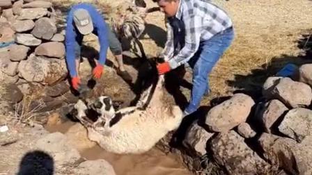 怎么都把羊扔到这里