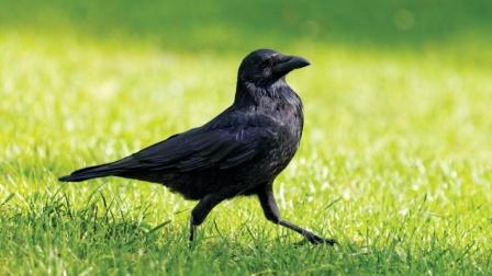 世界上最聪明的鸟居然真的是乌鸦