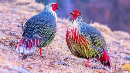 """西藏发现鸟界""""美男子"""",宛如从国画中走出来"""
