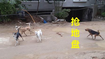 狗狗的帮派之争:抢地盘!