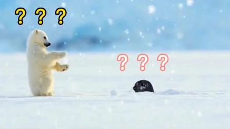 小北极熊第一次见到海豹的反应是这样的!