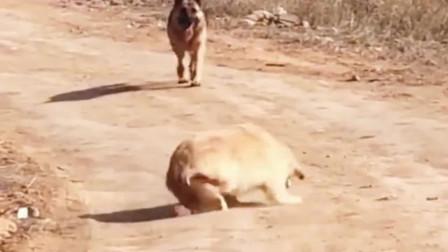 当金毛遇见德牧:怂成狗!哈哈哈哈