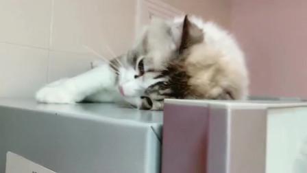 像狗狗一样的布偶猫,在冰箱顶上撒娇停不下来,伸手就倒