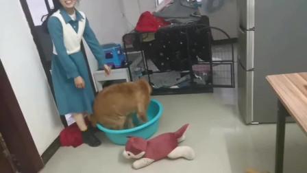 一只超爱洗澡的金毛狗,求主人给它洗澡,一拿盆出来就往里面钻。
