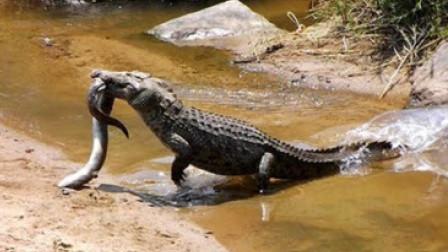 鳄鱼挑衅电鳗,结果被电得原地抽搐,镜头拍下精彩一幕