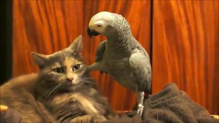 鹦鹉挑衅猫咪,肆无忌惮的挑逗之后,猫主子忍无可忍鹦鹉悲催了