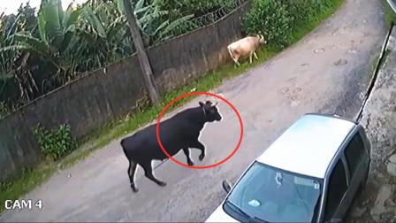 这头牛是仇家派来的吧,怎么跟我过不去?