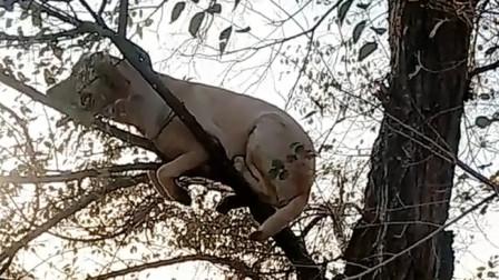 河南方言搞笑配音:猫狗大战,狗爬树下不来了!