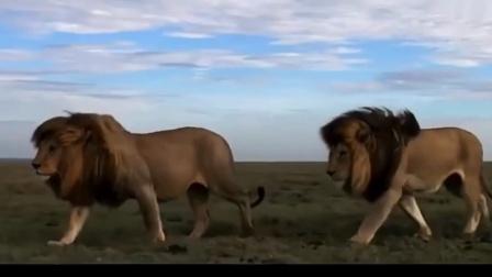 曾雄霸一方的雄狮,非洲草原的传奇,威武不凡!