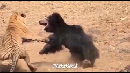 非洲雄狮不愧是草原之王,400斤黑熊直接被打趴下,惊艳了!