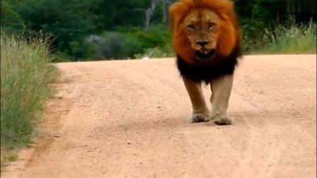 公路上突遇雄狮,这彪悍体型,老虎见到只有逃跑的命!