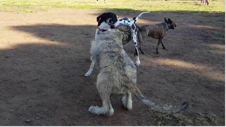 猎狼犬真的能打败野狼?个头比野狼强壮,最大的爱好就是围剿狼群