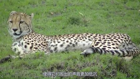 你听过猎豹的咆哮声吗?声音和身份很不符,实在无法想象