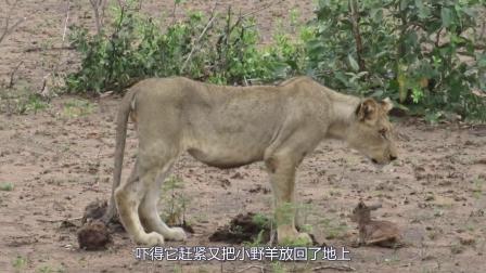 狮子草原捡到刚出生的小羊,本以为会残忍血腥,却不料画风突变!