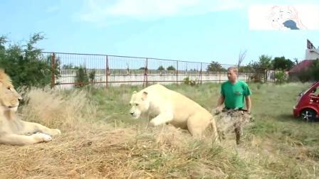 狮子遭饲养员教训时,这反应太逗了,把围观的游客笑倒了