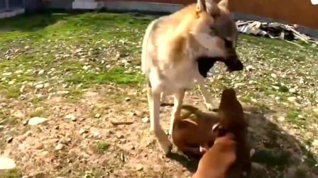 比特犬从小就这么凶,对狼都敢这态度